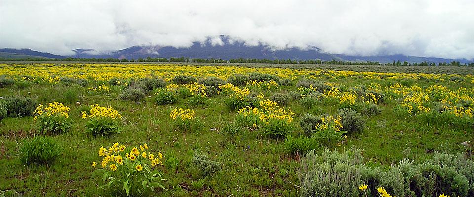 Jackson Hole Meadow